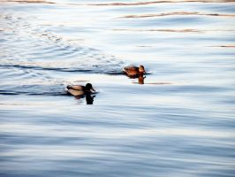 pair of mallard ducks by xrayfish
