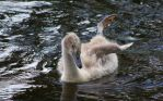 baby swan by cheah77