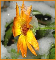 Snow is Heavy for Calendula by lepizzagirl