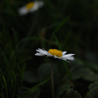 Stock: Daisy Chain by BloodshotInk