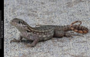 Curly Tail Lizard Stock 2 by Cassy-Blue