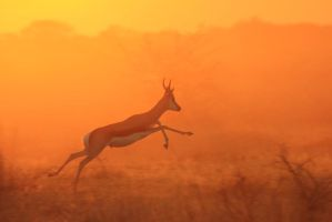 Springbok - African Wildlife - Jumping for Life by LivingWild