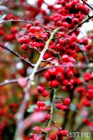 Red berrys by BHvid