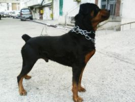 Rottweiler II by natiawarner