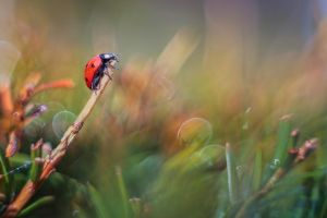 ladybug by Witoldhippie