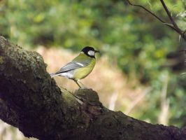 Great Tit by foxyfellowuk