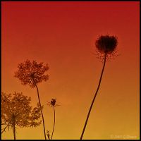 Sunset On Summer Flowrers by bamako