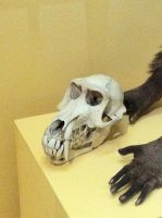 Baboon Skull by emmys-stock