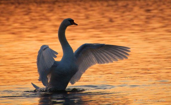 swan romance 8 by MT-Photografien