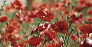 Poppies by star37luminaire
