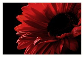 Red Gerbera III by cesalv