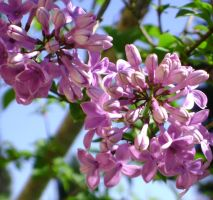 Lilacs are here by snoogaloo