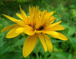 Insect on the Heliopsis by JocelyneR