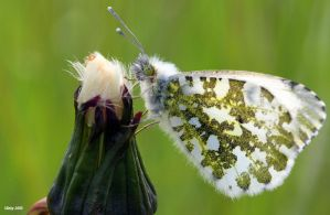 Female orange tip by Slinky-2012
