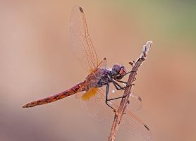 Wet darter by buleria