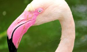 Flamingo Close up by Narsilia