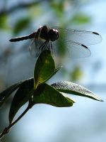Spring Dragonfly by Sharondipity