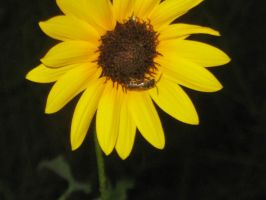 Sunflower and Bee 3 by my-dog-corky