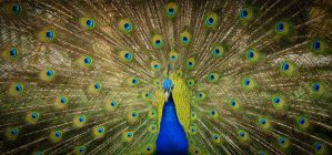 Peacock Large by twilliamsphotography