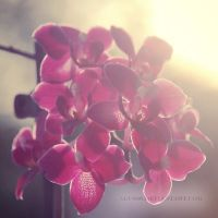 Orchids by Alyss6
