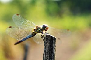 Happy Dragonfly by shadddow