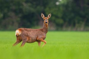 Roe doe by JMrocek