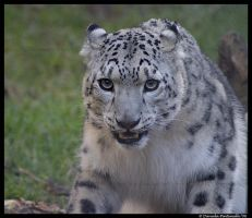 Snow Leopard III by TVD-Photography