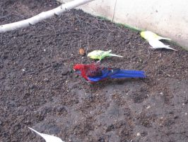 Crimson Rosella and Budgies by AudeS