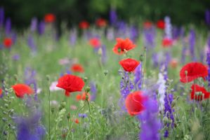 Poppies with purple wildflowers by MoozieBerry