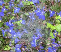 Lobelia with spiderwebs by Kattvinge