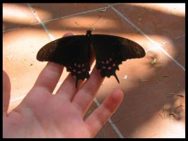 Papillon by SarahBob