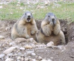 Marmots by FraterSINISTER