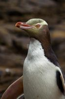 Yellow Eyed Penguin by ribbonworm