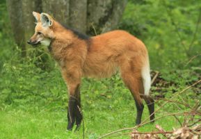 Maned Wolf by CamStatic