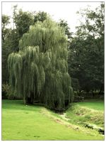 Weeping willow by bwanot
