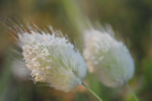 Hare's Tail Grass by MesmerizedByNature