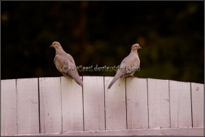 Mourning Doves - Bookends by KWilliamsPhoto