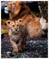 Indian Lion Cub 3 by Reto