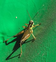 A Grasshopper by JocelyneR
