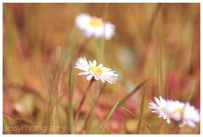 Daisy 2 by JessyPhotography