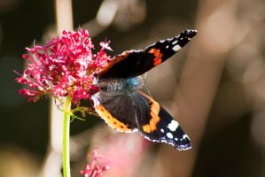 yet another butterfly by svendo