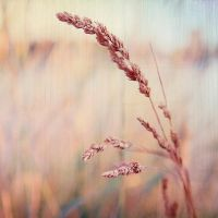 Wheat 2 by arlenecruz