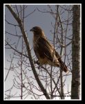 Red-Tailed Hawk by SlateGray