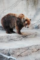 Grizzly Bear by MLeighS