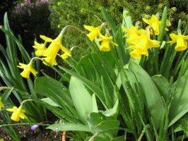 Daffodills and Water Drops by GreenEyezz-stock