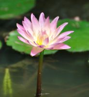 Pond Flower by TWOphotography