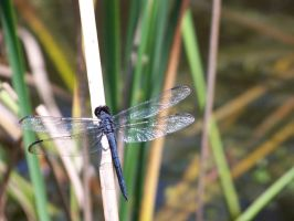 Blue Dragonfly 2 by Fully-Stocked