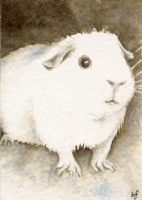 Guinea Pig ACEO by haz-elf