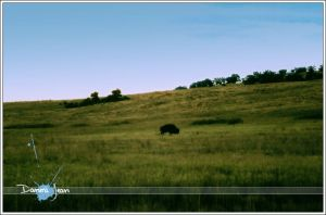 Lone Buffalo by biographia