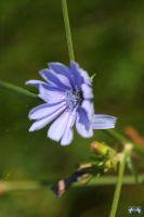 Chickory by LifeThroughALens84